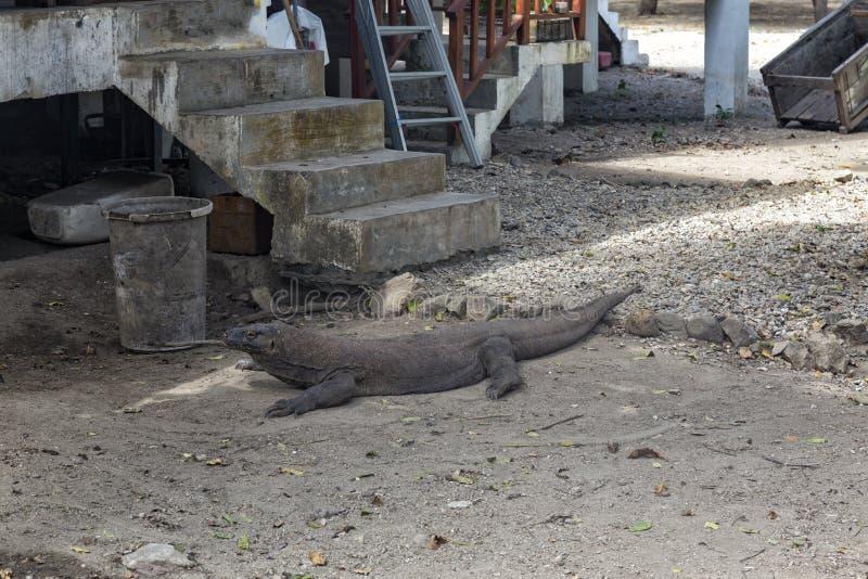 Большой дракон Komodo стоковая фотография rf