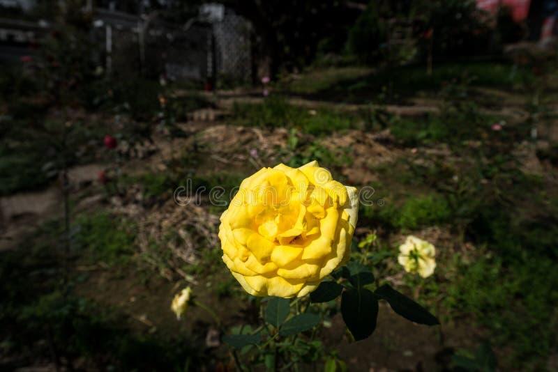Большой завод желтого Розы был растет вверх в саде стоковое изображение