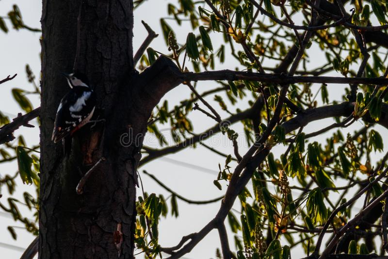 Большой запятнанный майор Dendrocopos woodpecker на дереве стоковое фото rf