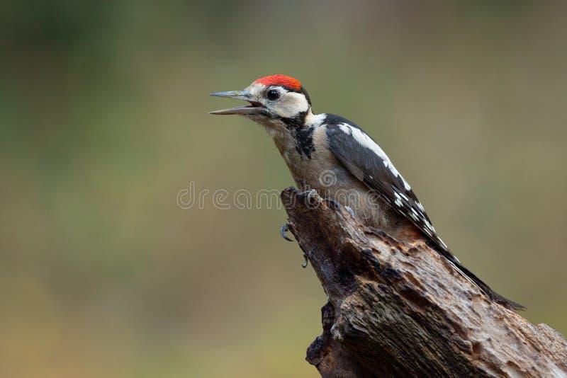 Большой запятнанный Woodpecker на пне дерева woodpecker dendrocopos женский большой главный запятнанный стоковые изображения rf