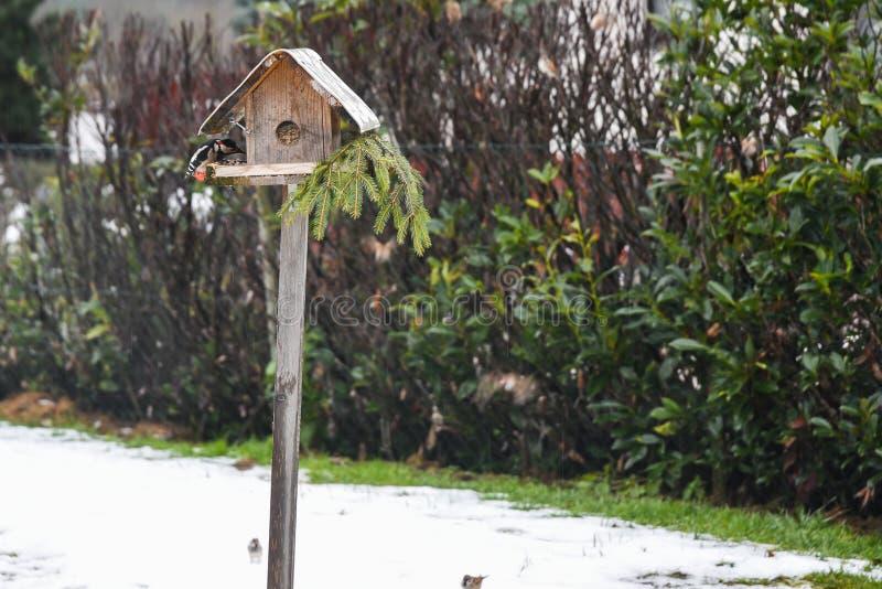 Большой запятнанный woodpecker около birdhouse стоковые изображения rf