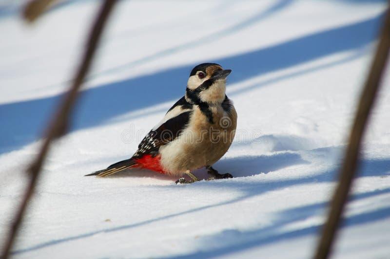 Большой запятнанный woodpecker сидит на снеге, приезжая для еды стоковое фото rf