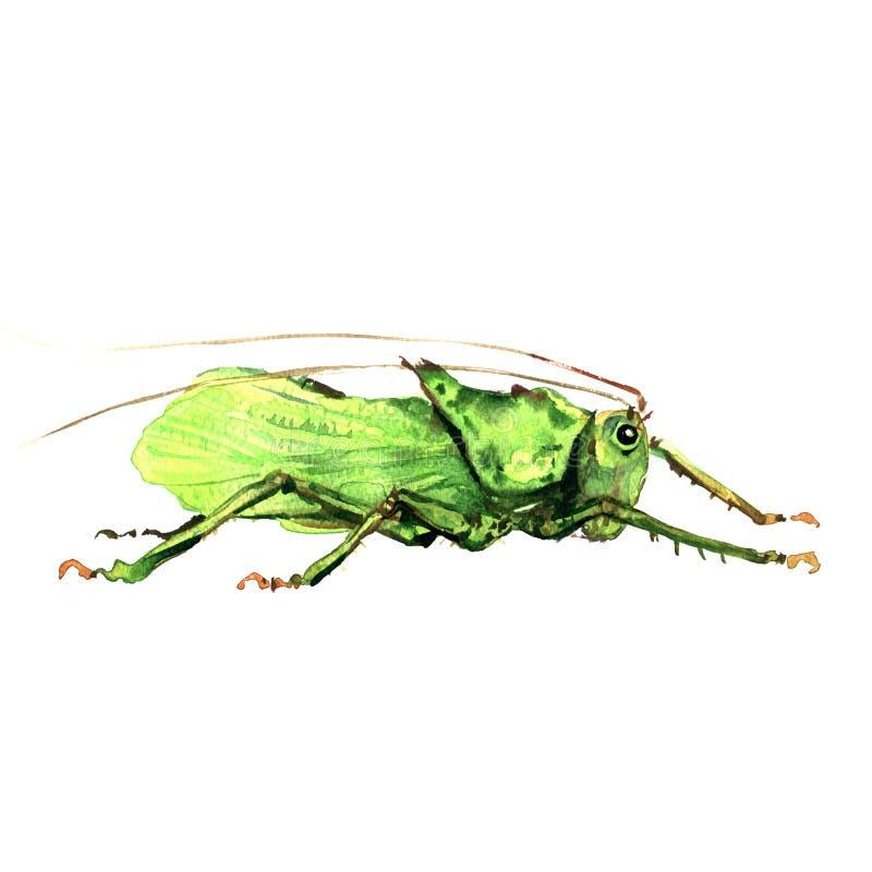 Большой зеленый изолированный кузнечик, иллюстрация акварели на белизне иллюстрация вектора