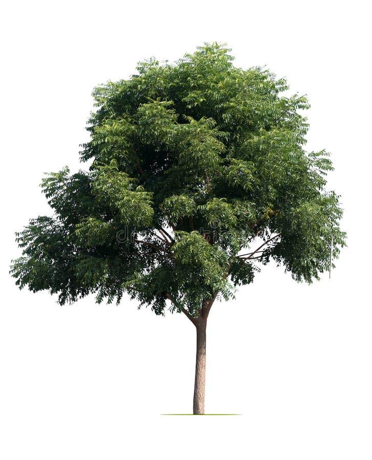 Большой изолят дерева на белизне стоковое фото