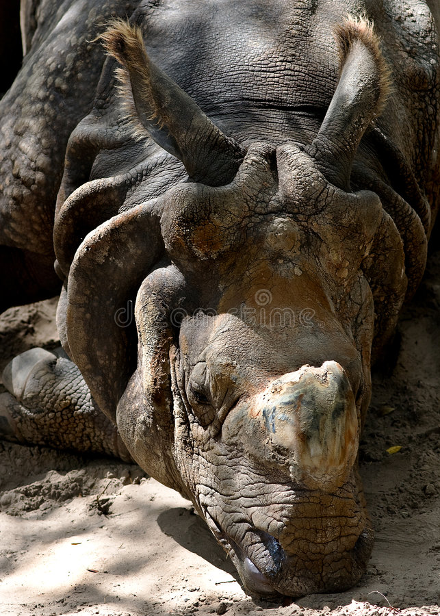 большой индийский носорог стоковые изображения