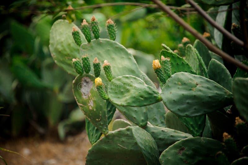 Большой кактус выходит в цветене на запачканную предпосылку стоковая фотография rf