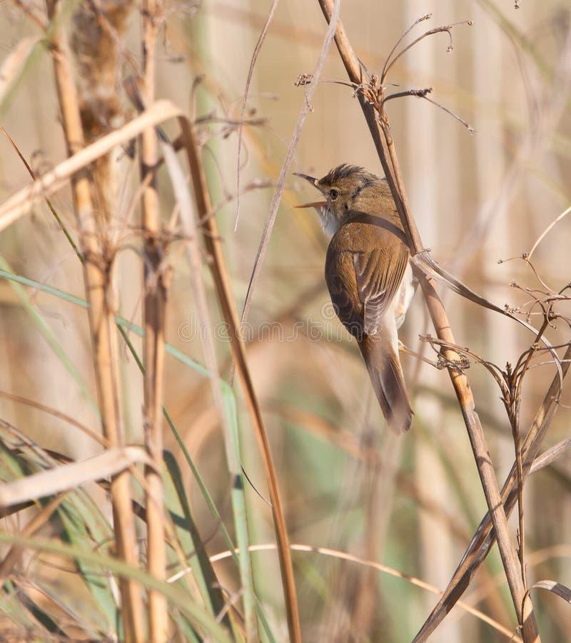 большой камышовый warbler петь стоковые фото