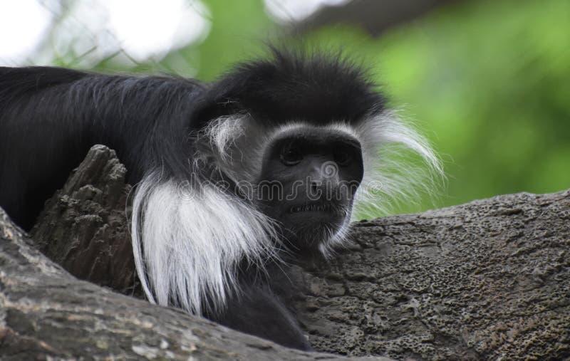 Большой конец-вверх Mantled обезьяны Guereza стоковые фотографии rf
