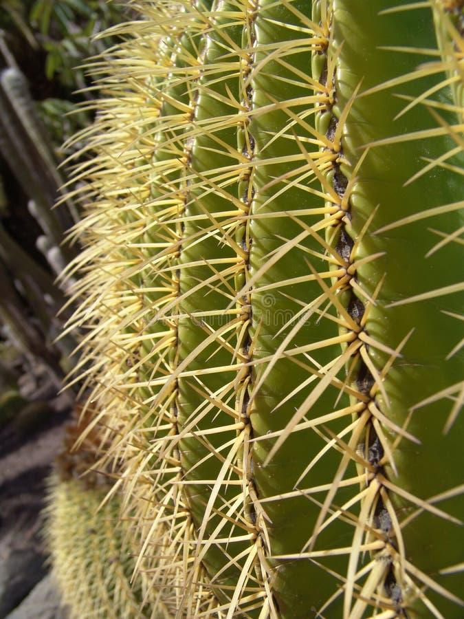 большой конец кактуса вверх стоковые изображения rf