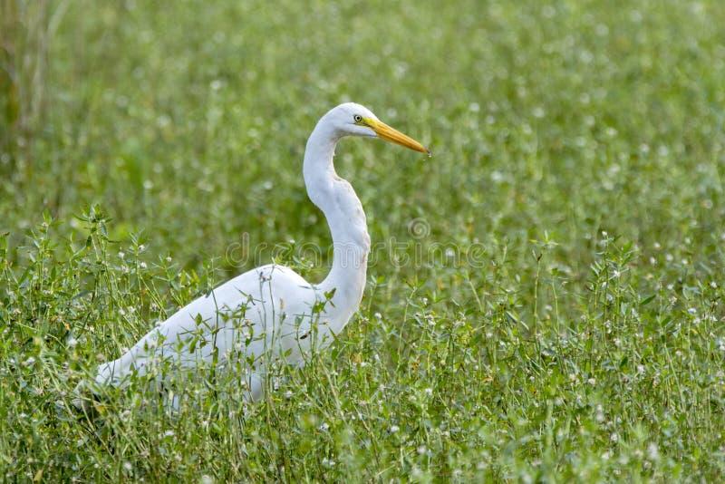 Большой конец птицы Egret вверх, Georgia США стоковые фото