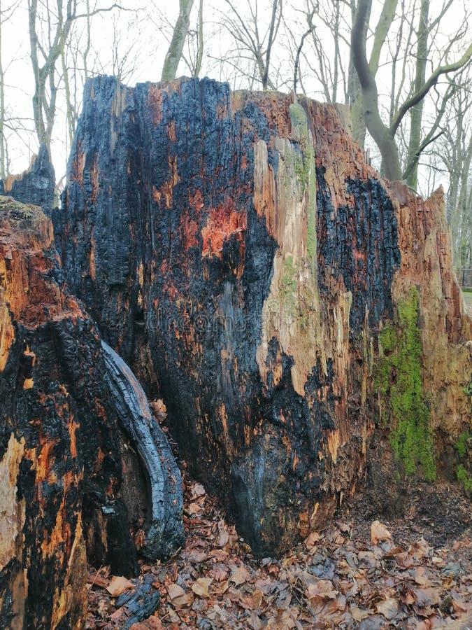 Большой, который сгорели пень в лесе стоковая фотография rf