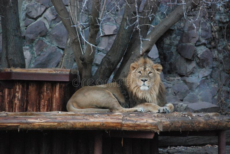 Большой красивый лев в зоопарке Москвы стоковая фотография rf