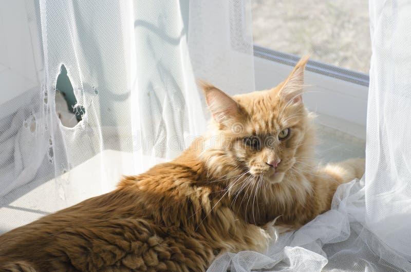 Большой красный мраморный кот енота Мейна лежит около сорванных занавесов и взглядов виновно стоковая фотография