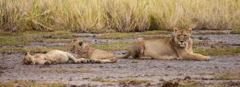 Большой лев наблюдает как малые львы сон стоковые фотографии rf