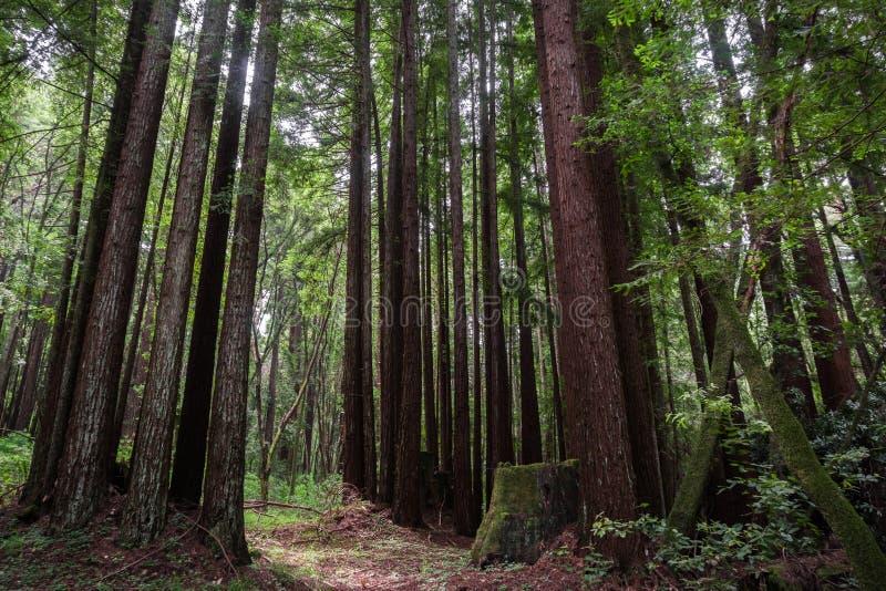 Большой лес sempervirens секвойи дерева Redwood стоковые фото