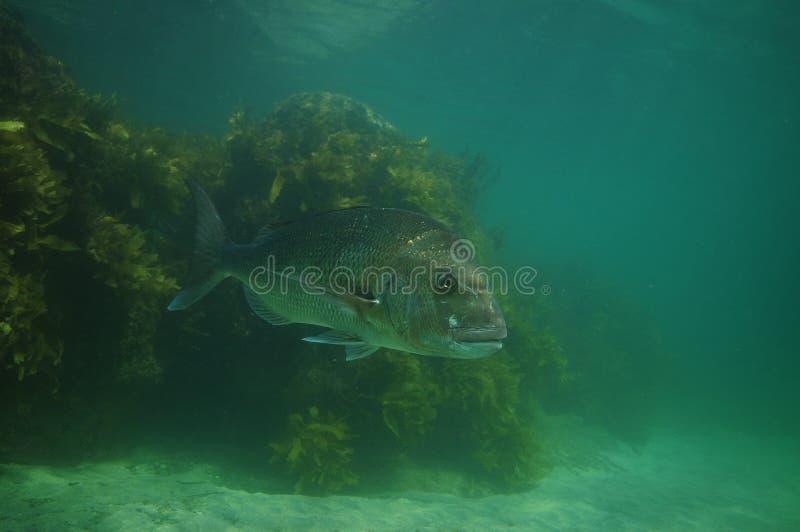 Большой луциан в туманной воде стоковая фотография rf