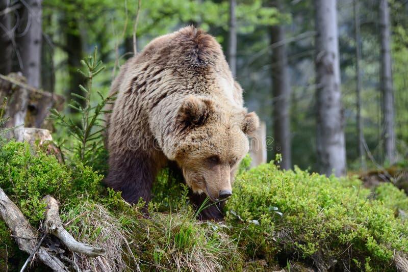 Большой медведь Brown в пуще стоковые изображения