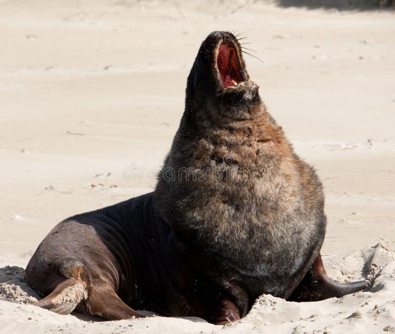 Большой морской лев Новой Зеландии зевая и протягивая на пляже на заливе Сурата в Catlins в южном острове в Новой Зеландии стоковые фото
