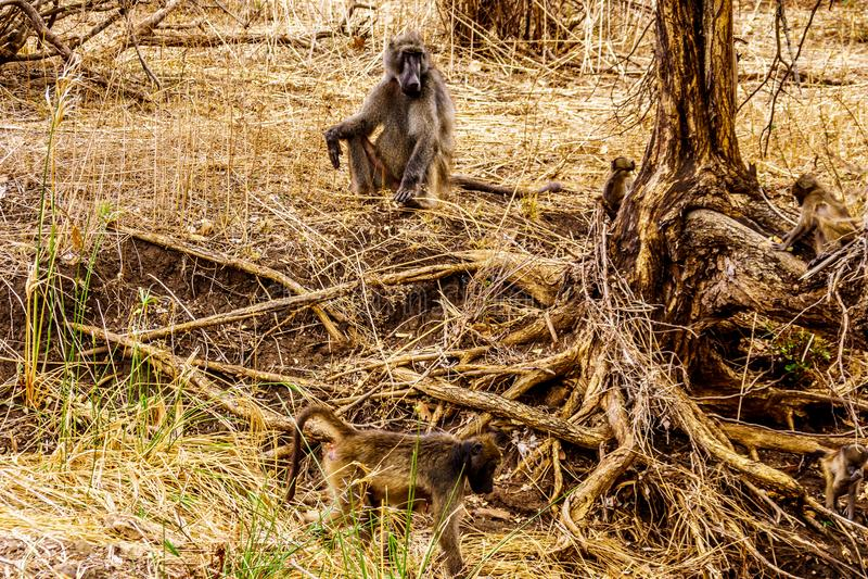 Большой мужской павиан с молодыми павианами в очаге поражения засухи центрального национального парка Kruger стоковые изображения