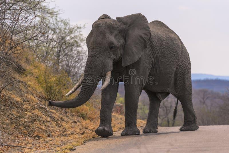 Большой мужской слон с бивнями цвета слоновой кости в тэксе, PA Kruger национальном стоковая фотография rf
