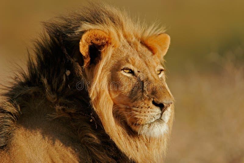 большой мужчина льва стоковая фотография