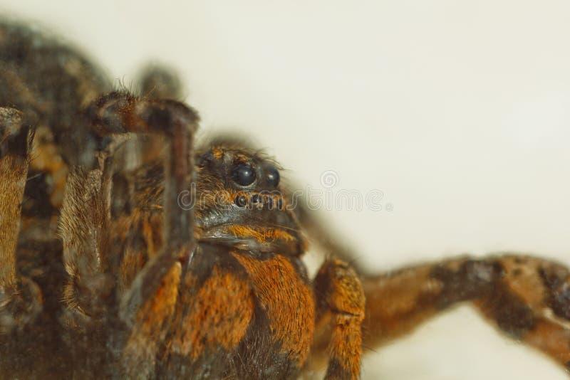 Большой некрасивый отскакивая тарантул паука сидит на том основании на белой предпосылке взрослый волосатый паук волка вползая бл стоковое фото