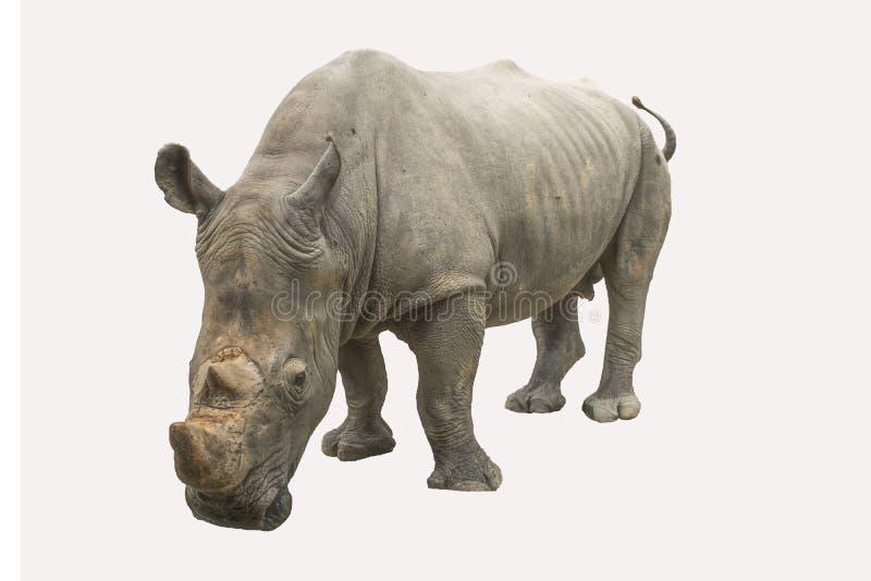 Большой носорог на белой предпосылке стоковая фотография rf