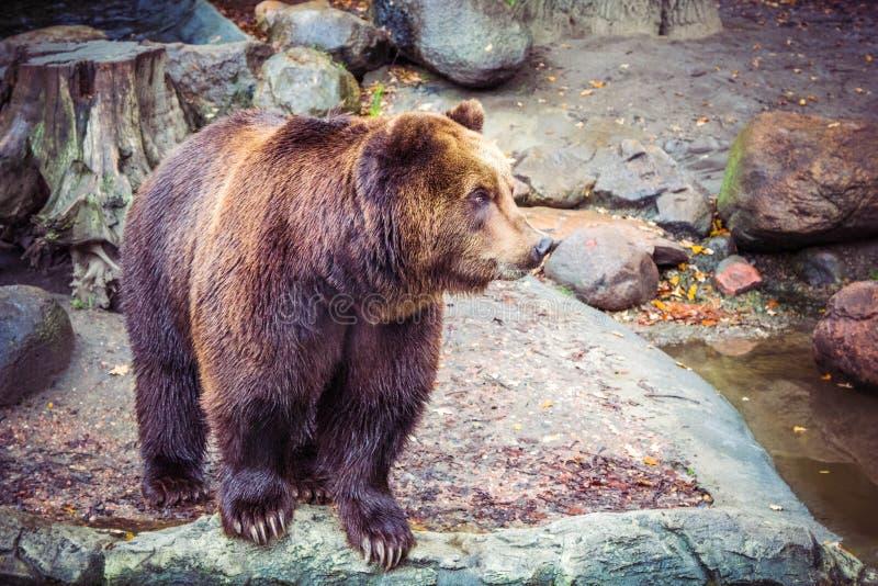 Большой одичалый бурый медведь в лесе на утесе, опасном животном в естественной зеленой предпосылке стоковое изображение
