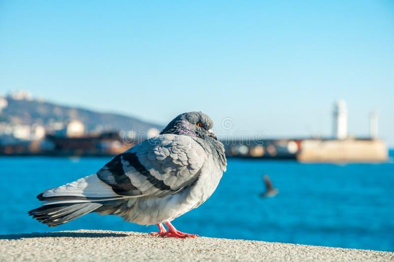 Большой одичалый голубь стоит с видом на море стоковое изображение