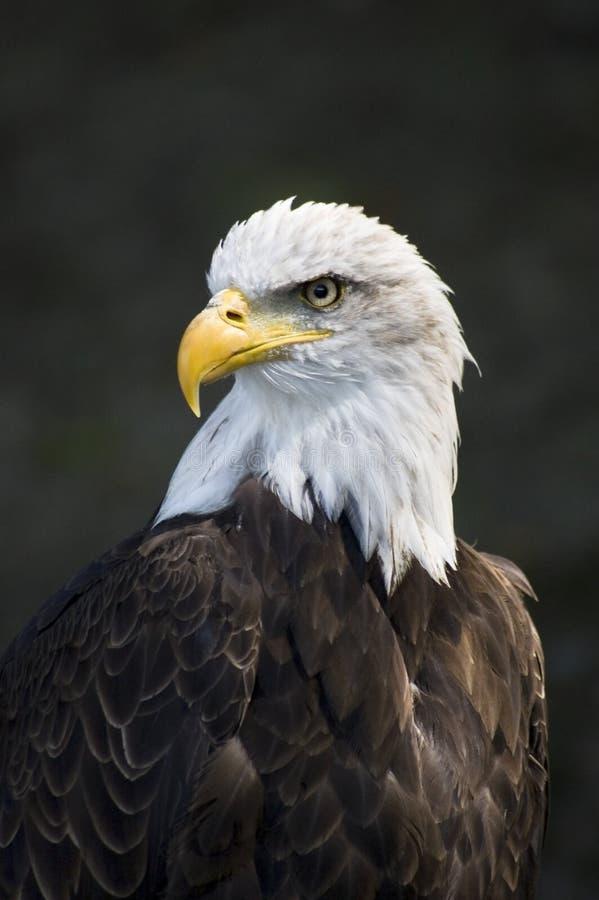 большой орел стоковые изображения