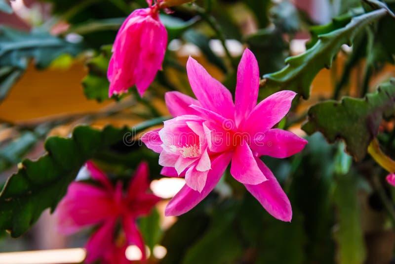 Большой открытый цветок гераниума в красивом пинке стоковое фото