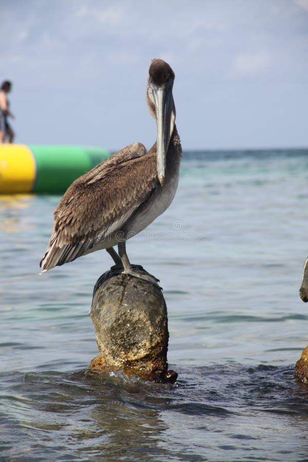 Большой пеликан на пляже стоковое фото rf