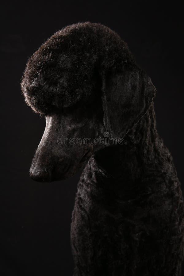 Большой портрет черного пуделя, изолированный на черной предпосылке стоковые изображения