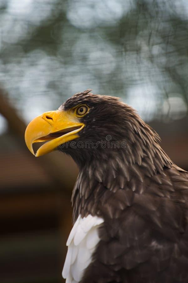 Большой профиль орла стоковое фото rf