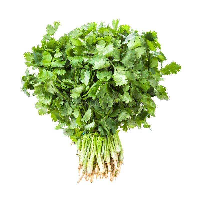 большой пук свежего зеленого изолированного cilantro стоковая фотография