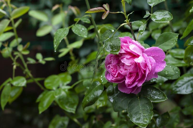 Большой пурпурный розовый цветок в саде после дождя Роскошный розовый розовый конец-вверх с падениями после дождя на предпосылке  стоковые фото