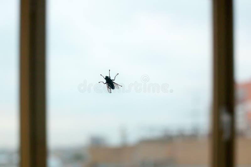Большой силуэт черной мухы на стекле окна на голубом небе и конце предпосылки города вверх, насекомое двукрылые bloodsucking стоковые фотографии rf