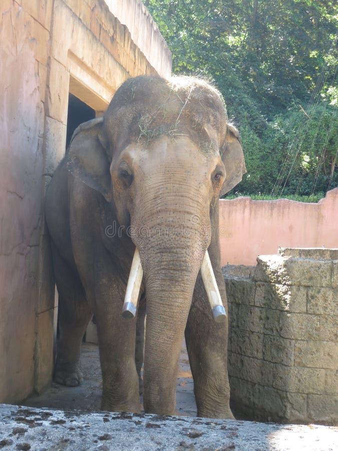 Большой слон на зоопарке стоковая фотография