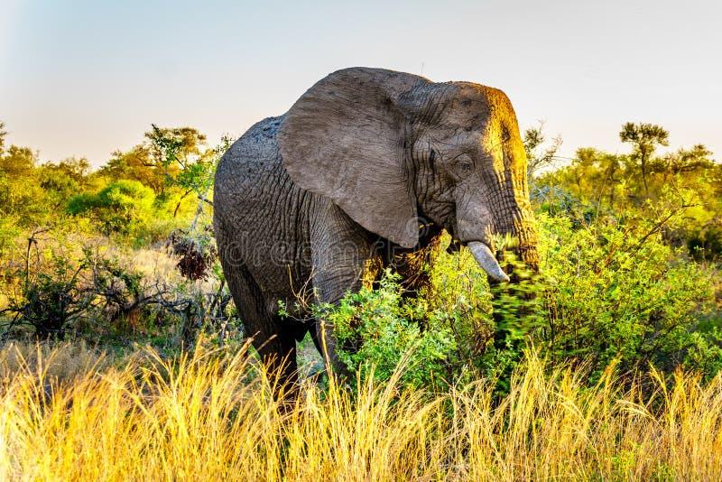 Большой слон Bull на заходе солнца в национальном парке Kruger стоковое фото rf