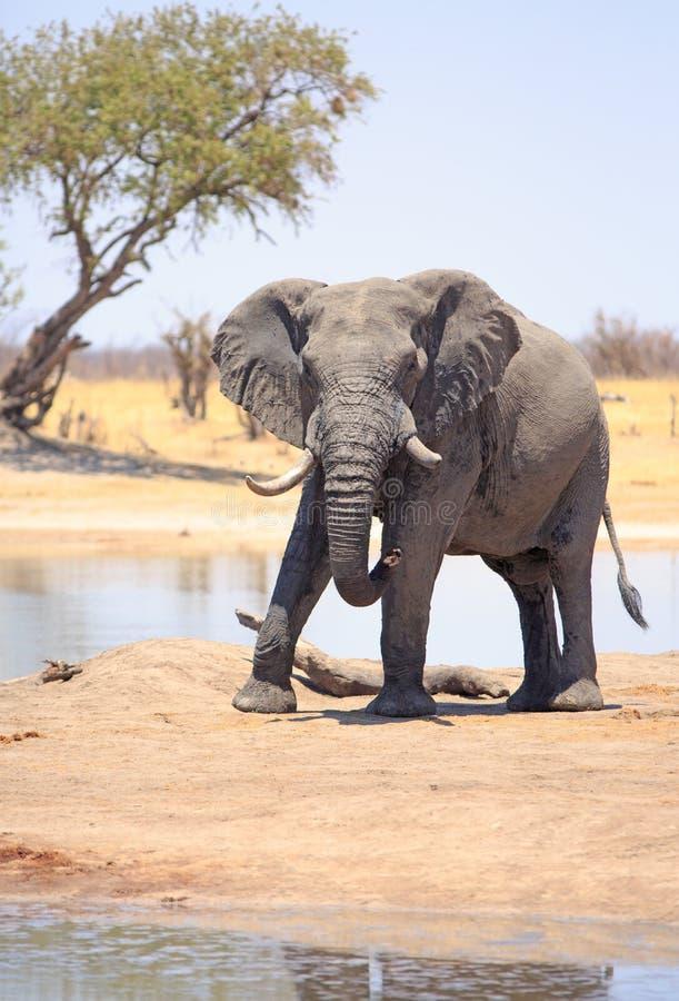 Большой слон Bull с огромным бивнем стоит около дерева акации стоковое изображение