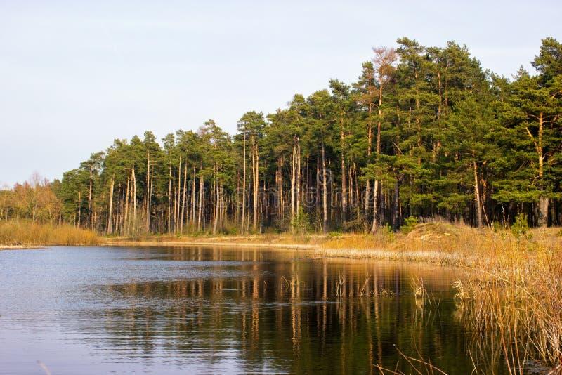 Большой сосновый лес на банках подпора реки стоковое изображение rf
