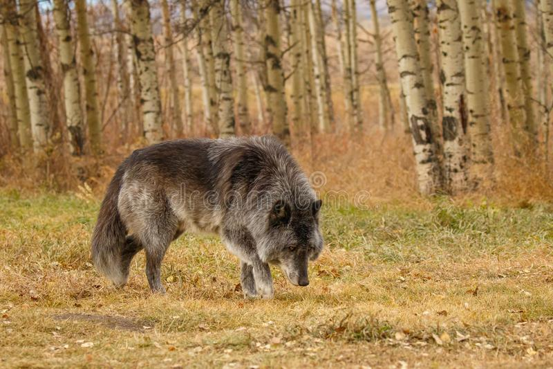 Большой старый серый волк siffing вокруг, Канада, unsocial дикое животное, сварливый старый парень, святилище волка Yamnuska стоковые изображения rf