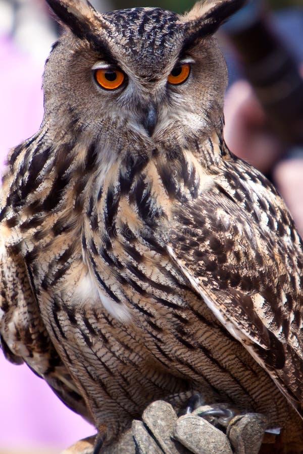 большой сыч орла крупного плана стоковые фотографии rf