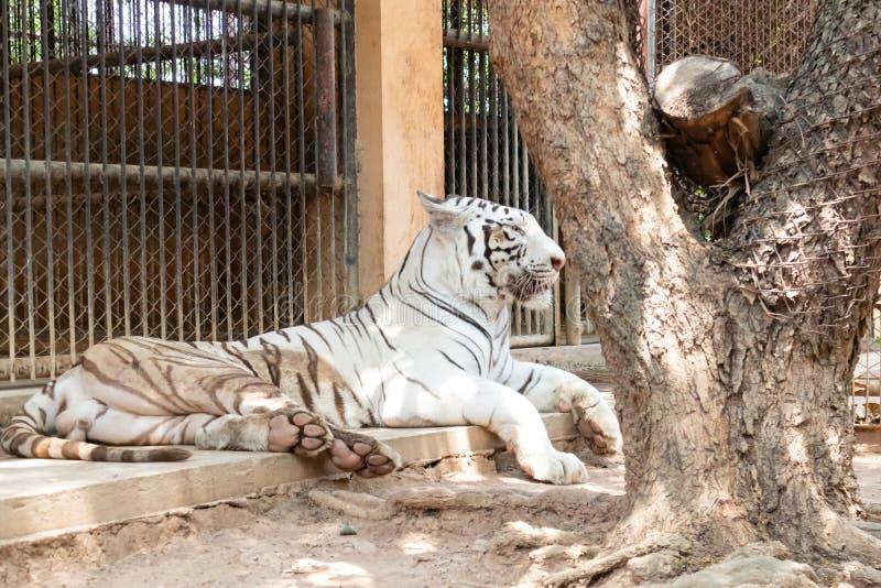Большой тигр в зоопарке стоковая фотография rf