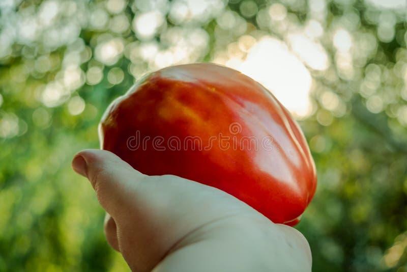 Большой томат в руке стоковые фото