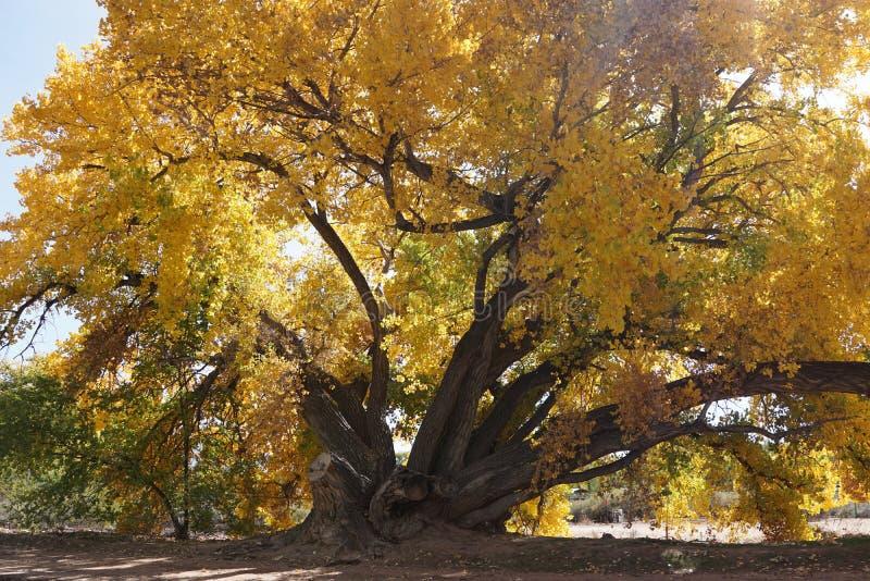 Большой хлопок с желтыми листьями стоковое изображение