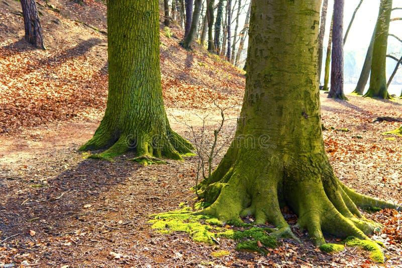 большой хобот дерева в парке вполне оранжевых листьев стоковые фотографии rf