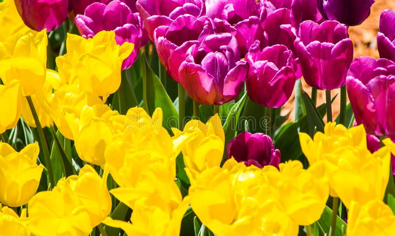 Большой цветник с тюльпанами желтых и сирени в парке стоковые изображения rf