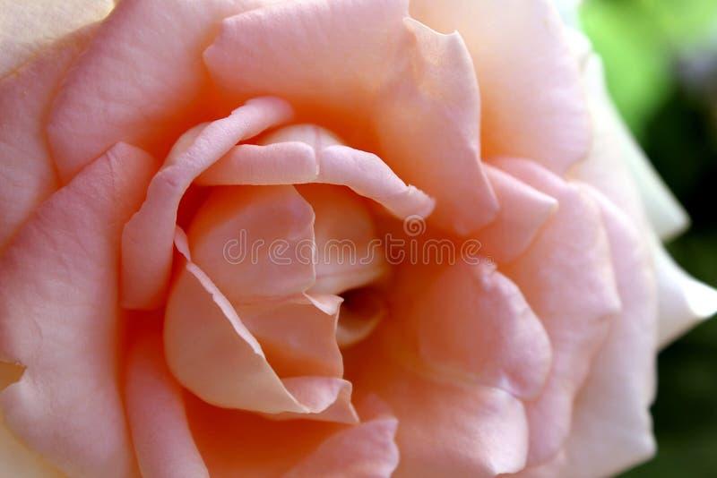 Большой цветок нежной розы пинка стоковые изображения rf