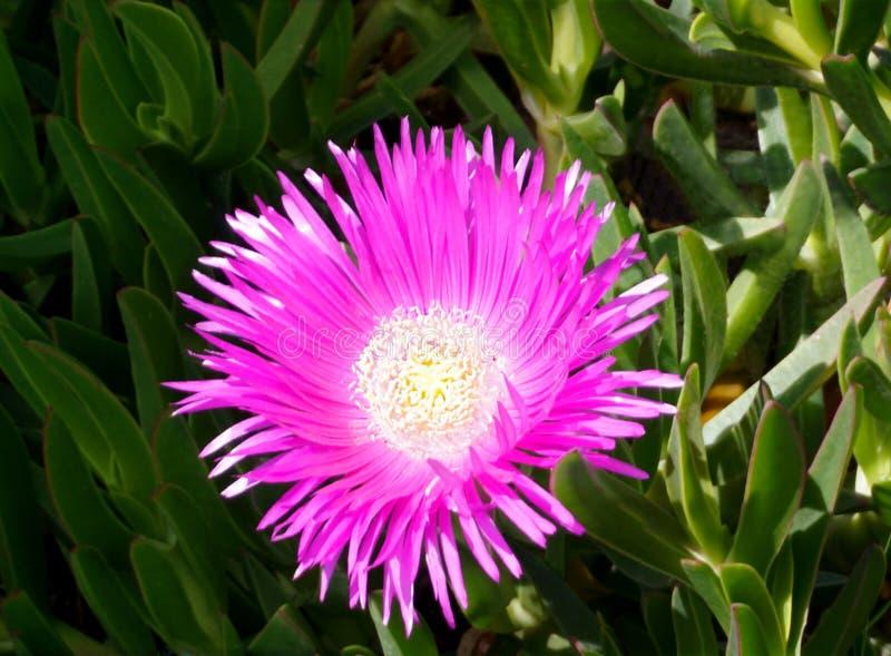 Большой цветок сирени Delosperma Cooperi или завода льда, конца вверх стоковое изображение rf